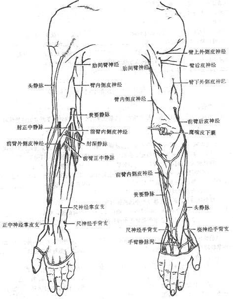 上肢浅静脉解剖图-第四节 臂前部 肘前部和前臂前部