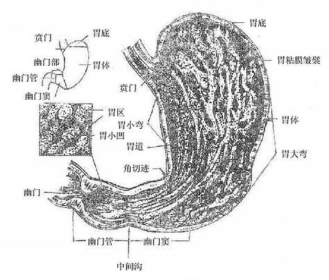 四节 腹腔消化器官和脾图片