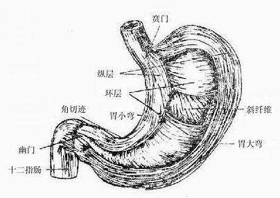 胃粘膜表面有许多小沟,纵横交错,将粘膜分隔为直径1-6毫米大小不等的