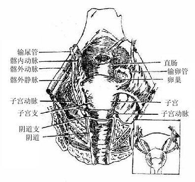 人体寄生虫学 > 第一节 盆部           ①形态和结构直肠和肛管(图9