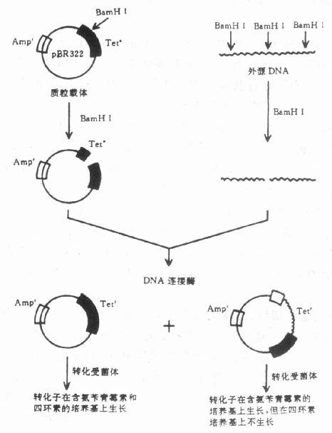 第二节 分子克隆载体