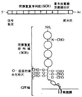 图5-16 daf cdna和其膜糖蛋白的结构