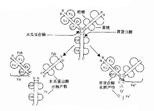 第二节 免疫球蛋白分子的结构与功能