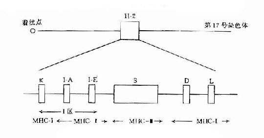 小鼠结肠结构图