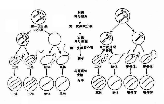 图2-5 减数分裂时染色体不分离