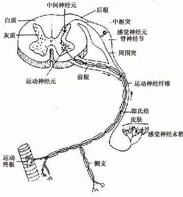 细胞膜 神经元的细胞膜是可兴奋膜(excitable membrane),它在接受刺激