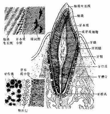 口腔结构动态图