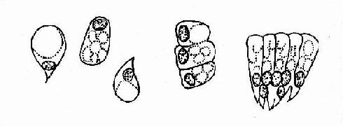 细胞图片手绘图