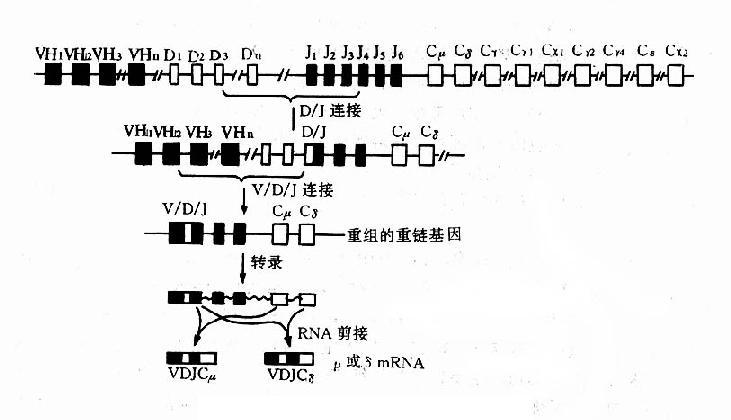 第五节 免疫球蛋白的基因及抗体形成