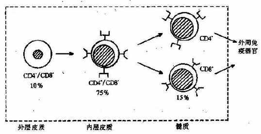 (二)B细胞的分化成熟   人和哺乳动物B细胞的产生、发育和成熟均在骨髓中完成,这个过程伴随着一系列的胞内基因和表面标志的变化(图4-7)。  图4-7B细胞发育过程及表面特征   B祖细胞(pro-Bcell)只表达CD10、CD19的末端脱氧核苷转移酶(TdT),这个时期的主要变化是重链基因重排;重排的失败率占50%,不成功的重排导致细胞死亡。成功的重排可导致产生重链m,存放于粗面内质网中;重链m可与未重排轻链基因产物化替轻链(surrogatelightchains)相结合,所形成的临时复合物