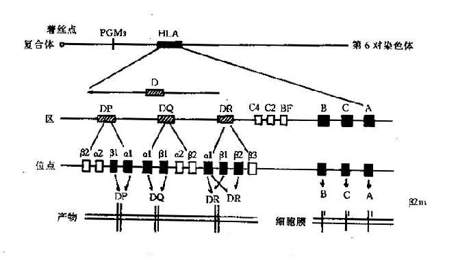 2.类基因区位于着丝点的近端,是结构最为复杂的一个区,主要由DR、DQ、DP三个亚区构成,每个亚区又有若干个位点。新近又鉴定了DO、DZ、DX三个亚区。   3.类基因区含有编码补体成分C2、C4、B因子及TNF、热休克蛋白和21羟化酶的基因。   4.非HLA基因这些基因位于HLA区域内,其功能与HLA相关;目前已经命名的有两类:LMP(largemultifunctionalprotease,或lowmolicularweightpolypeptides)和TAP(transporterassoc