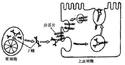 脊髓形态结构示意图