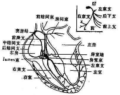 心脏传导系统示意图(右上图左束示意图)-第四节 正常心电图