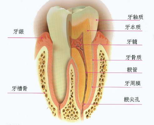 牙周组织结构图.